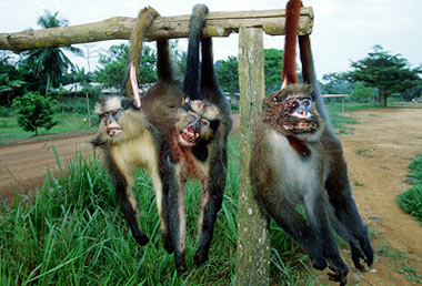 Diseased monkeys