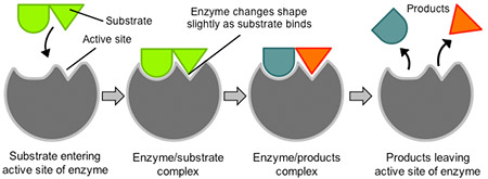 enzymes image